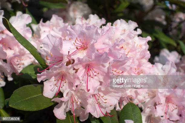 close-up of pink flowers blooming on tree - heather cole stock pictures, royalty-free photos & images