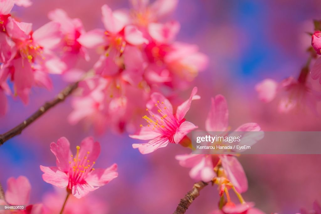 Close-Up Of Pink Flowers Blooming On Tree : Stock Photo