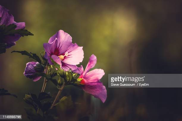 close-up of pink flowers blooming outdoors - steve guessoum stockfoto's en -beelden