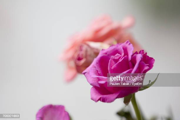 close-up of pink flowers blooming outdoors - paulien tabak foto e immagini stock