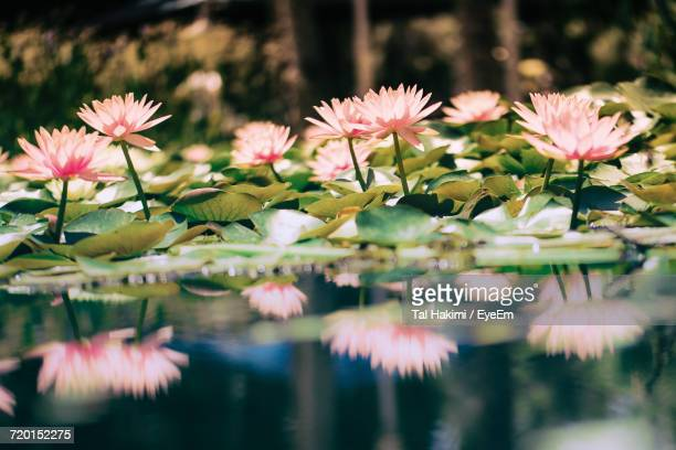 close-up of pink flowers blooming outdoors - hakimi stock photos and pictures