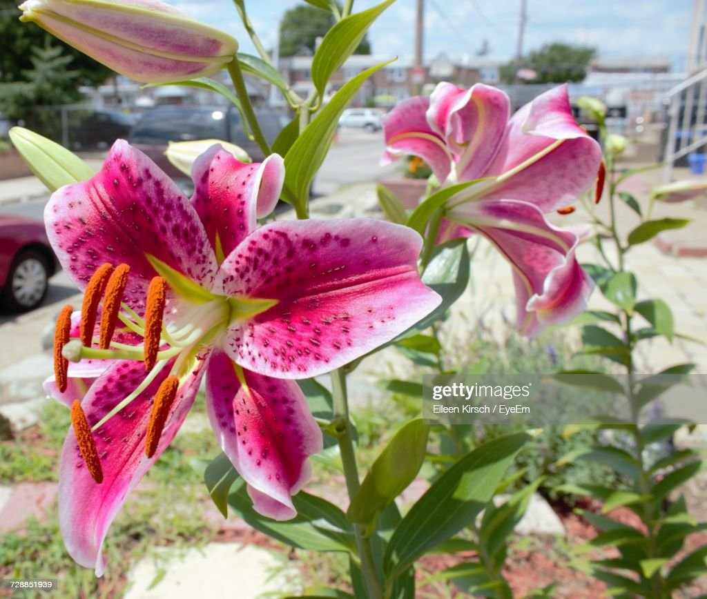 Close-Up Of Pink Flowers Blooming Outdoors : Stock Photo