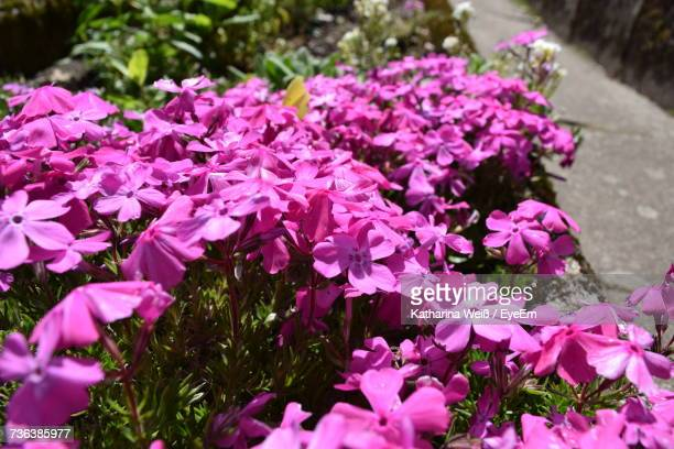 close-up of pink flowers blooming outdoors - weiß stock pictures, royalty-free photos & images