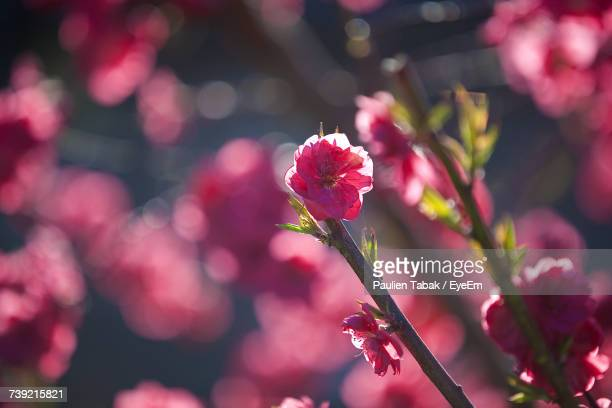close-up of pink flowers blooming outdoors - paulien tabak stock pictures, royalty-free photos & images