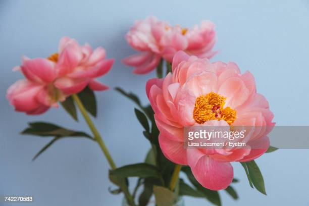 close-up of pink flowers blooming outdoors - peony stock pictures, royalty-free photos & images