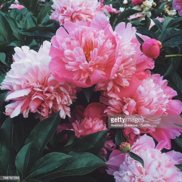 close-up of pink flowers blooming outdoors - peonia foto e immagini stock