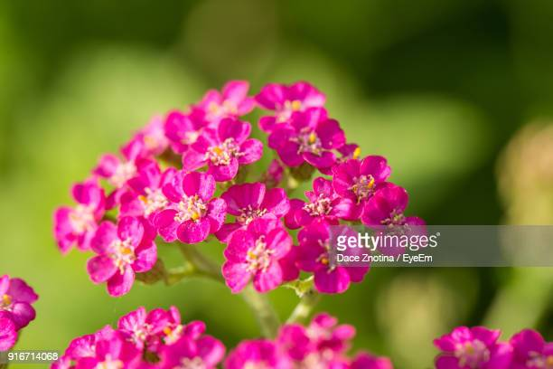 close-up of pink flowers blooming outdoors - yarrow stock photos and pictures