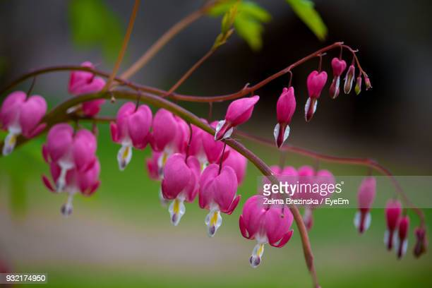 close-up of pink flowers blooming outdoors - brezinska stock pictures, royalty-free photos & images