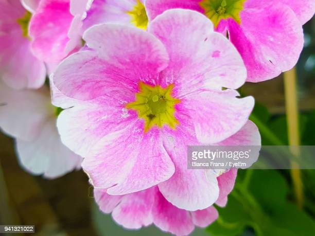 close-up of pink flowers blooming outdoors - fran�a imagens e fotografias de stock