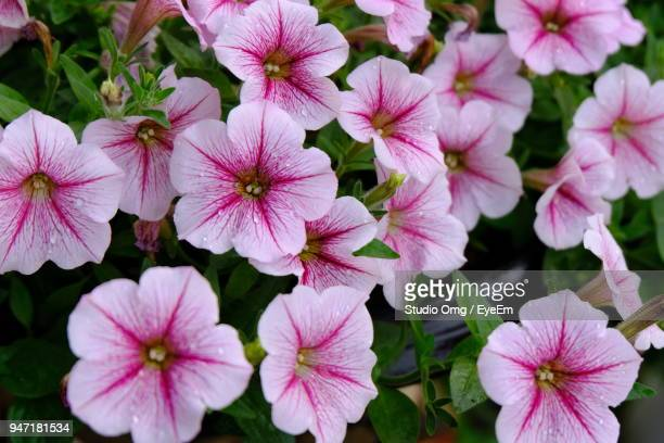Petunias Stock Pictures Royalty Free Photos Images Getty Images
