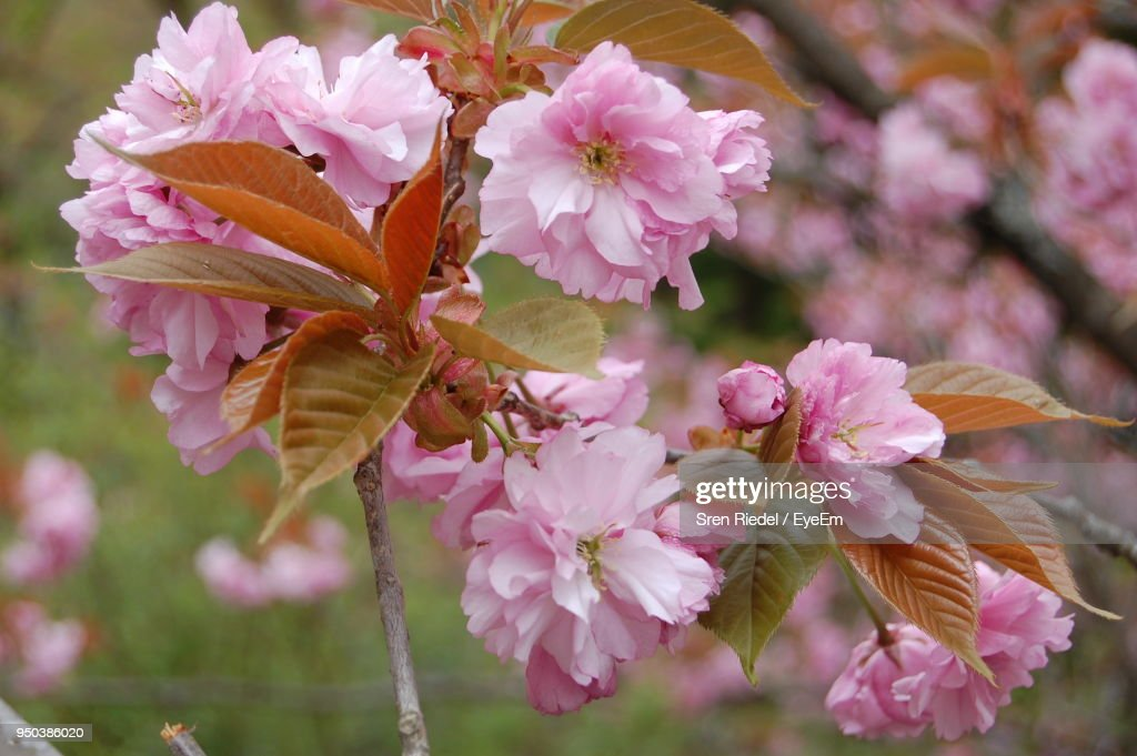 Closeup of pink flowers blooming outdoors stock photo getty images close up of pink flowers blooming outdoors mightylinksfo Choice Image