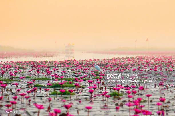 Close-Up Of Pink Flowers Growing In Lake Against Clear Sky
