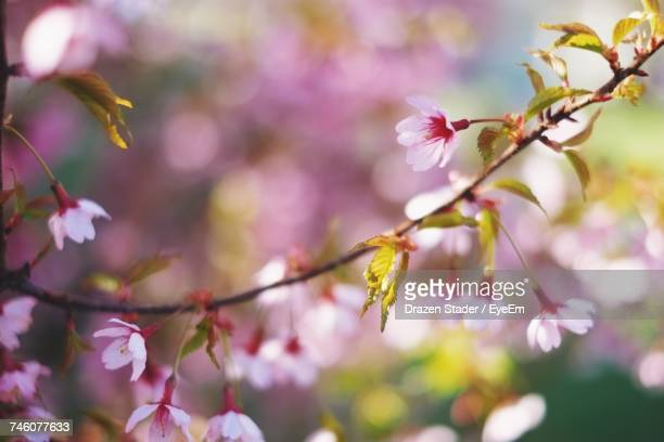 close-up of pink flowers growing on tree - drazen stock pictures, royalty-free photos & images