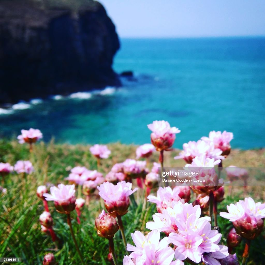 Closeup Of Pink Flowers On Beach Stock Photo Getty Images