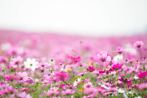 Close-Up Of Pink Flowers On Field - gettyimageskorea