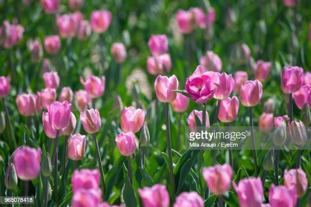 Close-Up Of Pink Flowers On Field