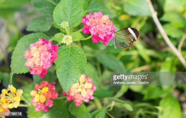 close-up of pink flowers on plant - lantana stock pictures, royalty-free photos & images