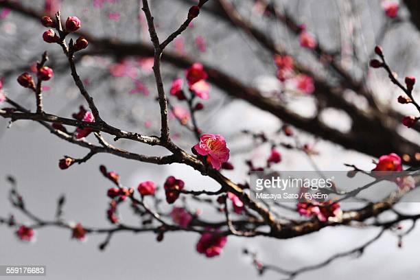 close-up of pink flowers on plant - maebashi city stock photos and pictures