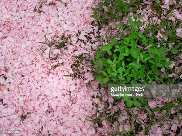 close-up of pink flowers on tree - inoue stock photos and pictures