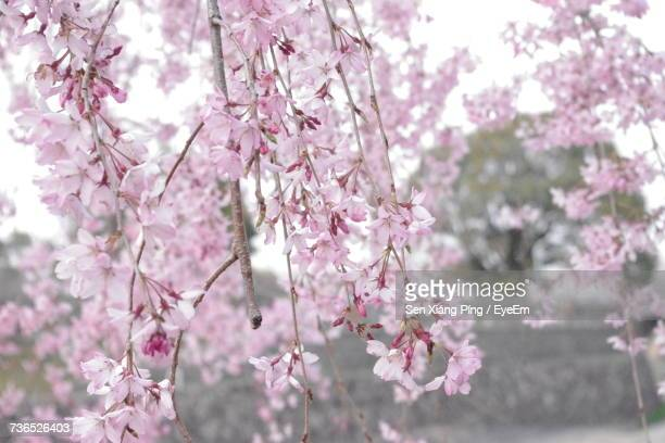 close-up of pink flowers on tree - glycine photos et images de collection