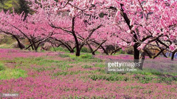 close-up of pink flowers on tree - peach flower stockfoto's en -beelden