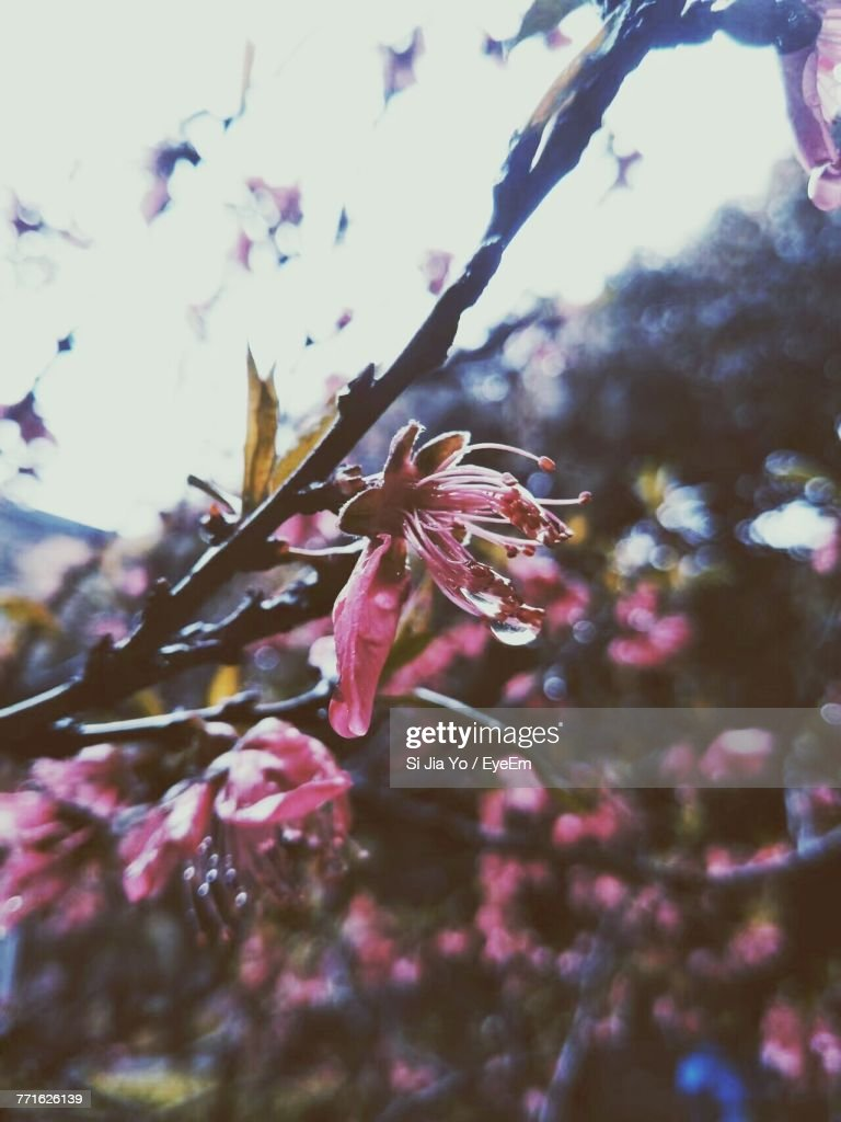 Closeup Of Pink Flowers On Tree Stock Photo Getty Images