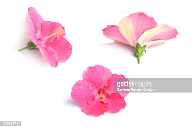 Close-Up Of Pink Flowers On White Background