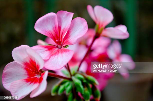 close-up of pink flowers - islamabad stock pictures, royalty-free photos & images