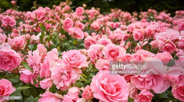close-up of pink flowers - pale pink stock pictures, royalty-free photos & images