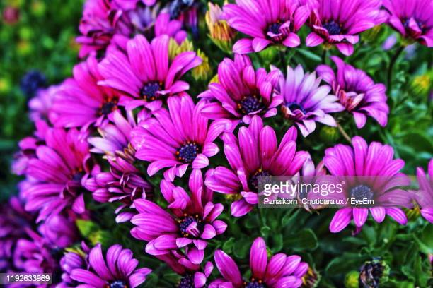 close-up of pink flowers - panaikorn chutidaralux stock photos and pictures