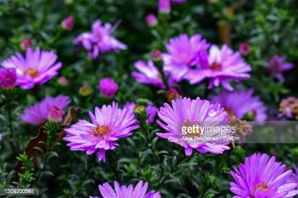 close-up of pink flowers - alina stock pictures, royalty-free photos & images