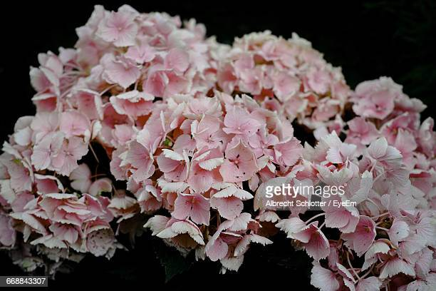 close-up of pink flowers - albrecht schlotter stock photos and pictures