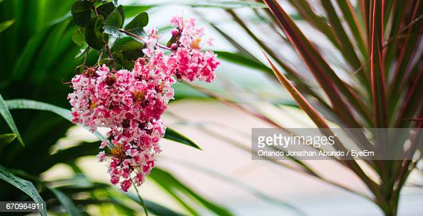 close-up of pink flowers - special:whatlinkshere/file:lucerne_circle,_orlando,_fl.jpg stock pictures, royalty-free photos & images