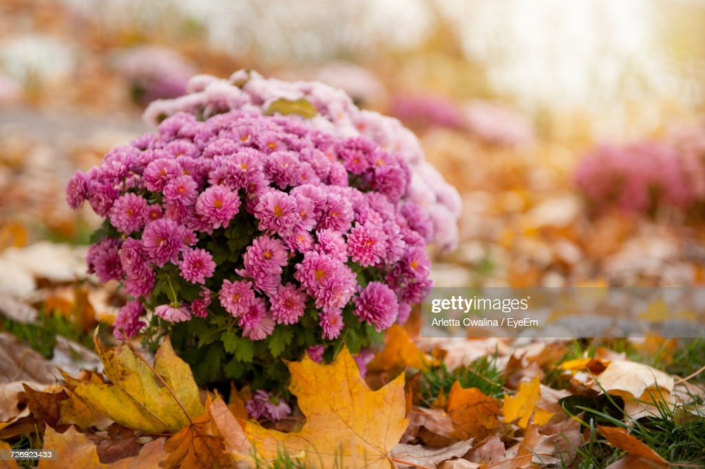 Close-Up Of Pink Flowers : Stock-Foto