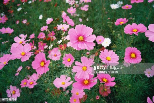 close-up of pink flowers - cosmos flower stock photos and pictures