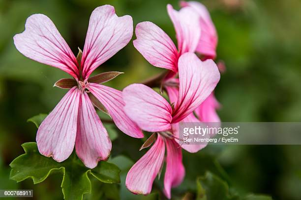 Close-Up Of Pink Geranium Flowers Blooming Outdoors