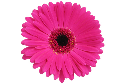Close-Up Of Pink Gerbera Daisy Over White Background - gettyimageskorea