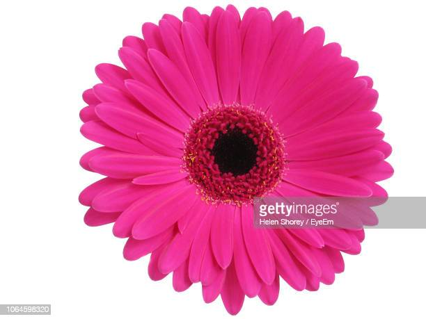 close-up of pink gerbera daisy over white background - 花 ストックフォトと画像