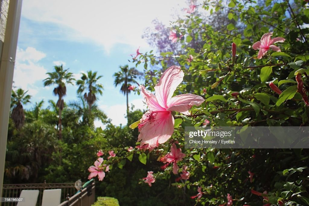 Closeup Of Pink Hibiscus Blooming On Tree Stock Photo Getty Images