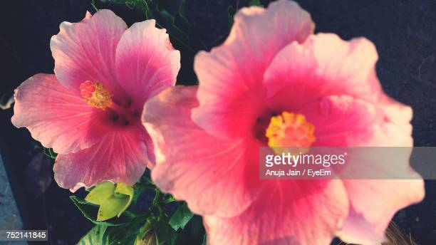 close-up of pink hibiscus blooming outdoors - jain stock photos and pictures
