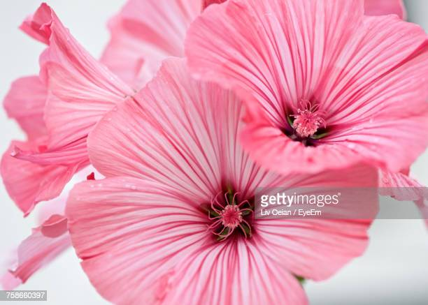 close-up of pink hibiscus blooming outdoors - hibiscus stock pictures, royalty-free photos & images