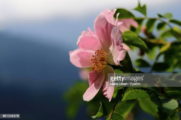 close-up of pink hibiscus blooming outdoors - clima alpino foto e immagini stock