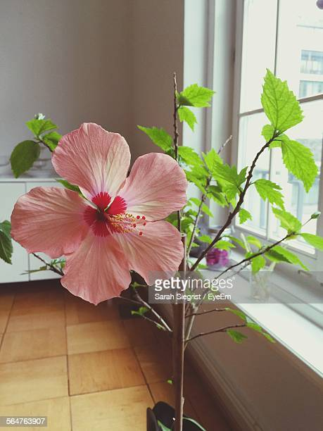Close-Up Of Pink Hibiscus Flower In Pot