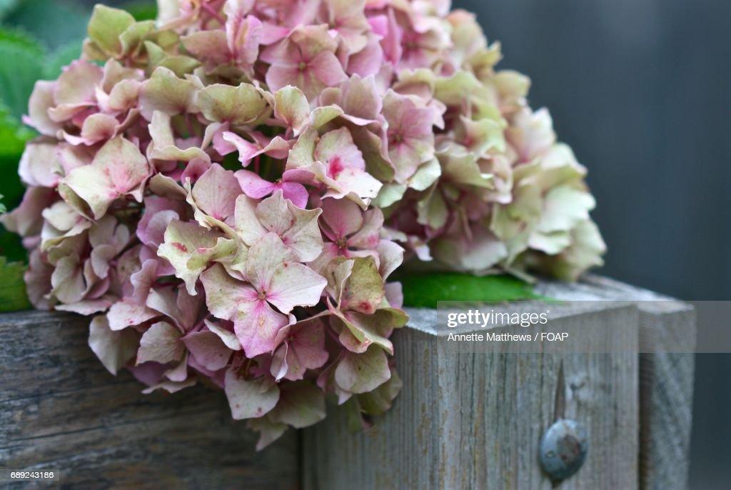 Close-up of pink hydrangea : Stock Photo