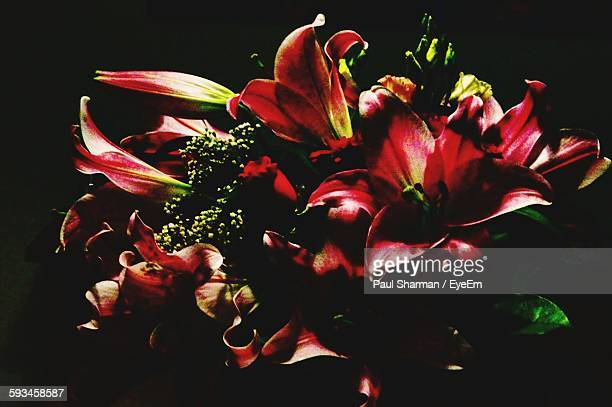 Close-Up Of Pink Lilies Against Black Background