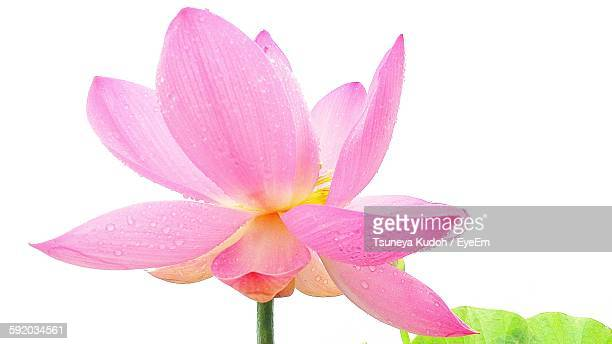 Close-Up Of Pink Lotus Blooming Against Clear Sky