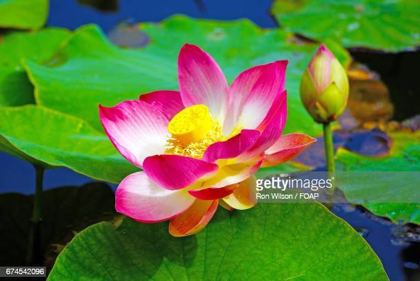 close-up of pink lotus - lily wilson stock pictures, royalty-free photos & images