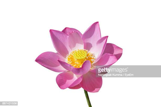 Close-Up Of Pink Lotus Water Lily Against White Background