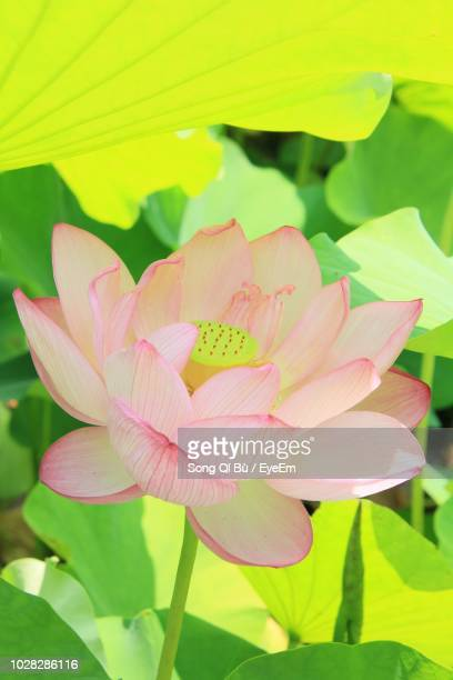 close-up of pink lotus water lily - matsuyama ehime stock pictures, royalty-free photos & images