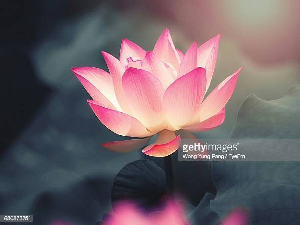 close-up of pink lotus water lily - lotus flower stock photos and pictures